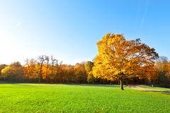 Panorama. Lonely beautiful autumn tree. Landscape. Royalty Free Stock Photography
