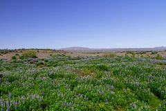 Panorama of the lupine fields in Iceland royalty free stock images