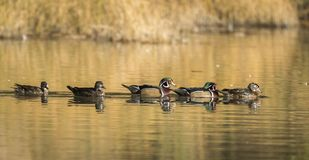 Panorama of male and female wood ducks. A panoramic image of male and female wood ducks in the pond at Cannon Hill Park in Spokane, Washington Royalty Free Stock Photo