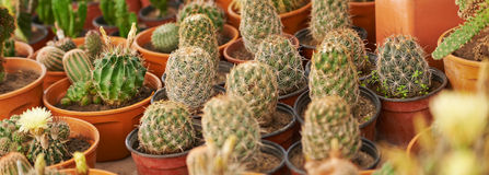 Panorama of many cactus Royalty Free Stock Photo