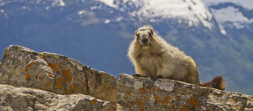 Panorama of marmot, Glacier National Park, Montana USA Royalty Free Stock Image