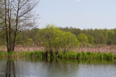 Panorama meander river with reed on northern part of Ukraine, Sumy region. Riparian vegetation Salix sp. Flooded meadow. Panorama small river with reed on Stock Photos