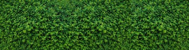 Panorama med sidor Dekorativ vägg med gröna sidor fotografering för bildbyråer