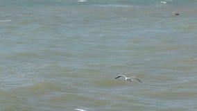 Panorama, Menge von den Möven, die niedrig über die Wellen fliegen und Brot essen stock footage