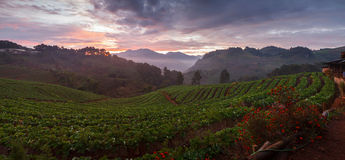 Panorama misty morning sunrise in strawberry garden at doi angkh royalty free stock images