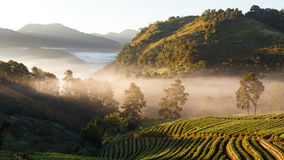 Panorama misty morning sunrise in strawberry garden Royalty Free Stock Photos