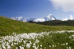 Panorama mit einem Feld der Blumen in den Schweizer Alpen Lizenzfreies Stockfoto