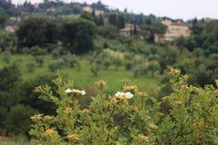 Panorama mit einer Rose lizenzfreie stockfotos