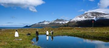 Panorama mit König Penguins, das am Rand eines ruhigen Teichs, mit Reflexionen, rote Führerflagge auf einem Pfosten, sonniger T stockfotos