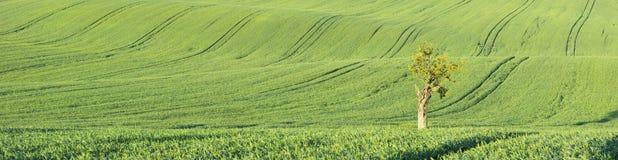 Panorama mit Traktorspuren und -baum Stockfotografie