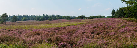 Panorama of moorland in full bloom Stock Photography