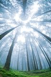 Panorama morning fir tree forest. royalty free stock photography