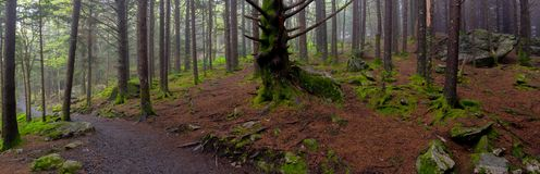 Panorama of Mossy Forest Floor stock photos