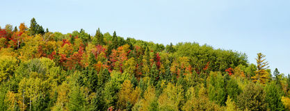 Panorama of mountain with colorful trees. Beautiful panorama of a mountain with colorful maple trees and others in red, orange and yellow, during fall or autumn( Royalty Free Stock Photo