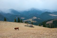 Cows graze on a pasture, powdered with snow against the backdrop of the mountains. Panorama of a mountain village with cows that graze on the farm in autumn Stock Image