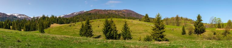 Panorama of mountainous landscape in springtime. Lovely scenery with spruce forest on grassy slopes. mountain ridge with snowy tops in the distance royalty free stock image
