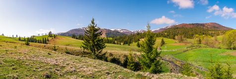 Panorama of mountainous landscape in springtime. Lovely scenery with spruce trees on grassy hillsides. mountain ridge with snowy peaks in the distance stock photography