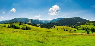 Panorama of mountainous landscape in summer. Spruce forest on a grassy hills in the valley of Carpathian mountain. beautiful view of Borzhava mountain ridge Royalty Free Stock Photo