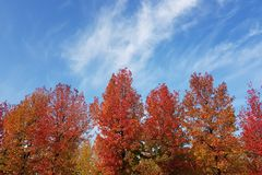 Panorama of multi colored autumn trees with blue sky in the background stock photography
