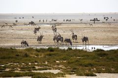 Panorama in Namibia with antelopes Royalty Free Stock Photography