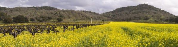 Panorama- Napa Valley vingårdar och senapsgult blomma arkivfoto