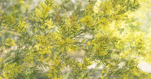 Panorama nativo australiano do Wattle de Brisbane da árvore da acácia Fotos de Stock