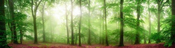 Panorama nebbioso della foresta con i raggi di luce molli fotografia stock libera da diritti