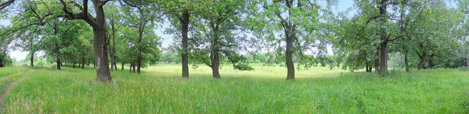 Panorama of oak trees. Summer day Stock Photo