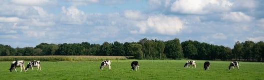 Panorama obrazki od czarny i biały krów w łące Obraz Stock