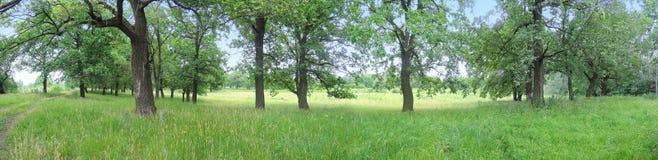 Free Panorama Of Oak Trees Stock Photo - 41716960