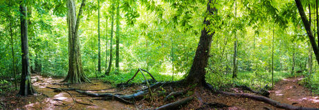 Panorama Of Rainforest Royalty Free Stock Photo