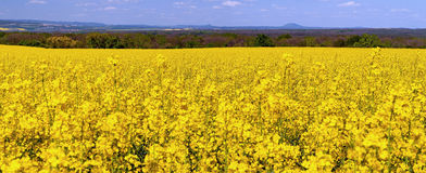 Panorama of Oilseed Rapes Stock Photography