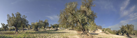 Panorama of the Olives Trees Stock Images