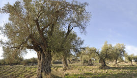 Panorama of the Olives Trees Royalty Free Stock Images