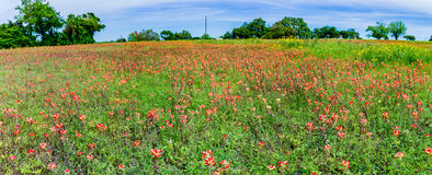Panorama of Orange Indian Paintbrush Wildflowers in a Texas Fiel Royalty Free Stock Photos