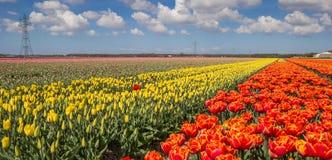 Panorama of orange and yellow tulips Stock Images