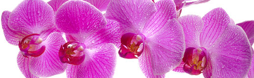 Panorama of orchid blossom Royalty Free Stock Photo