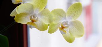 Panorama orchidea Obrazy Stock