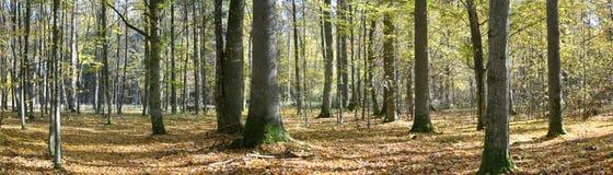 Panorama outonal da floresta Fotos de Stock Royalty Free