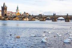 Panorama på Charles Bridge i Prague i eveiningen med svanar arkivfoto