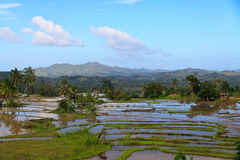 Panorama of the paddy rice field. Stock Photography