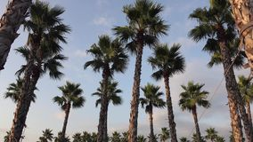 Panorama palm trees on blue sky background. Panorama palm trees on blue sky stock video