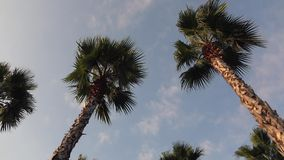 Panorama palm trees on blue sky background. Panorama palm trees on blue sky stock video footage