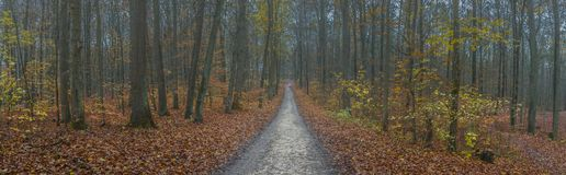 Panorama path through the misty autumn forest. Of deciduous trees with brown leaves lie on the ground Stock Photos