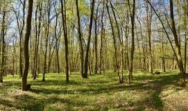 Panorama piękny zielony las w wiośnie Obraz Royalty Free