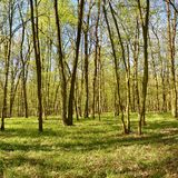 Panorama piękny zielony las w wiośnie Fotografia Stock