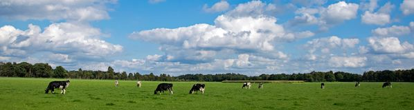 Panorama pictures from black and white cows in a meadow. Stock Photo