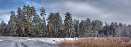 Panorama of pine forest. Panorama of winter pine forest royalty free stock photography