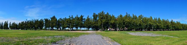 Panorama of Pine Tree Royalty Free Stock Image