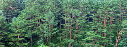 Panorama of pine trees. Stock Photography